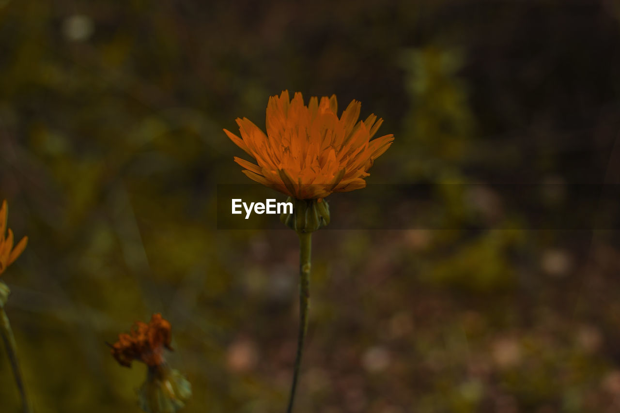 vulnerability, fragility, flower, flowering plant, beauty in nature, plant, growth, freshness, close-up, petal, flower head, inflorescence, focus on foreground, nature, plant stem, field, no people, day, outdoors, pollen, sepal