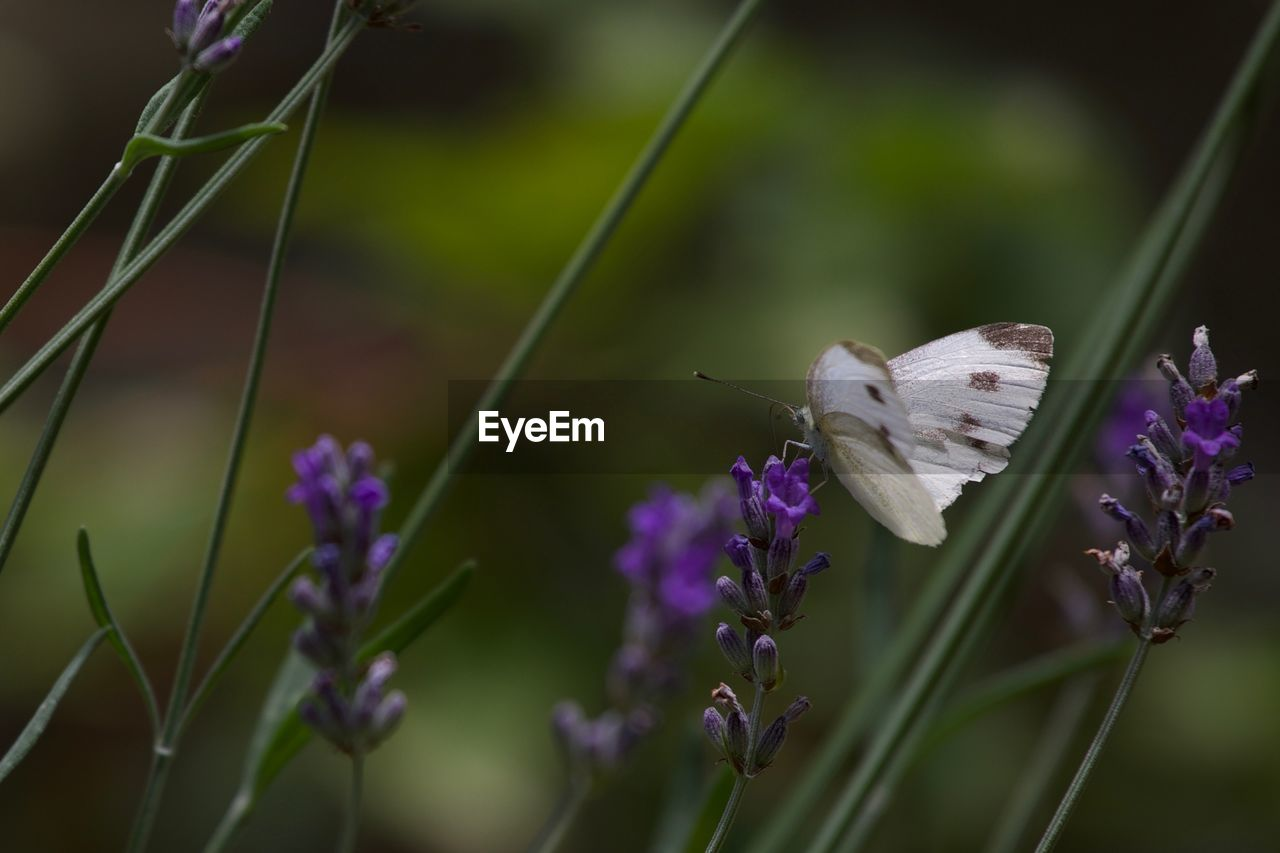 flowering plant, flower, plant, fragility, vulnerability, growth, beauty in nature, animal themes, purple, animals in the wild, animal, one animal, animal wildlife, freshness, close-up, invertebrate, insect, petal, flower head, nature, no people, animal wing, pollination, butterfly - insect