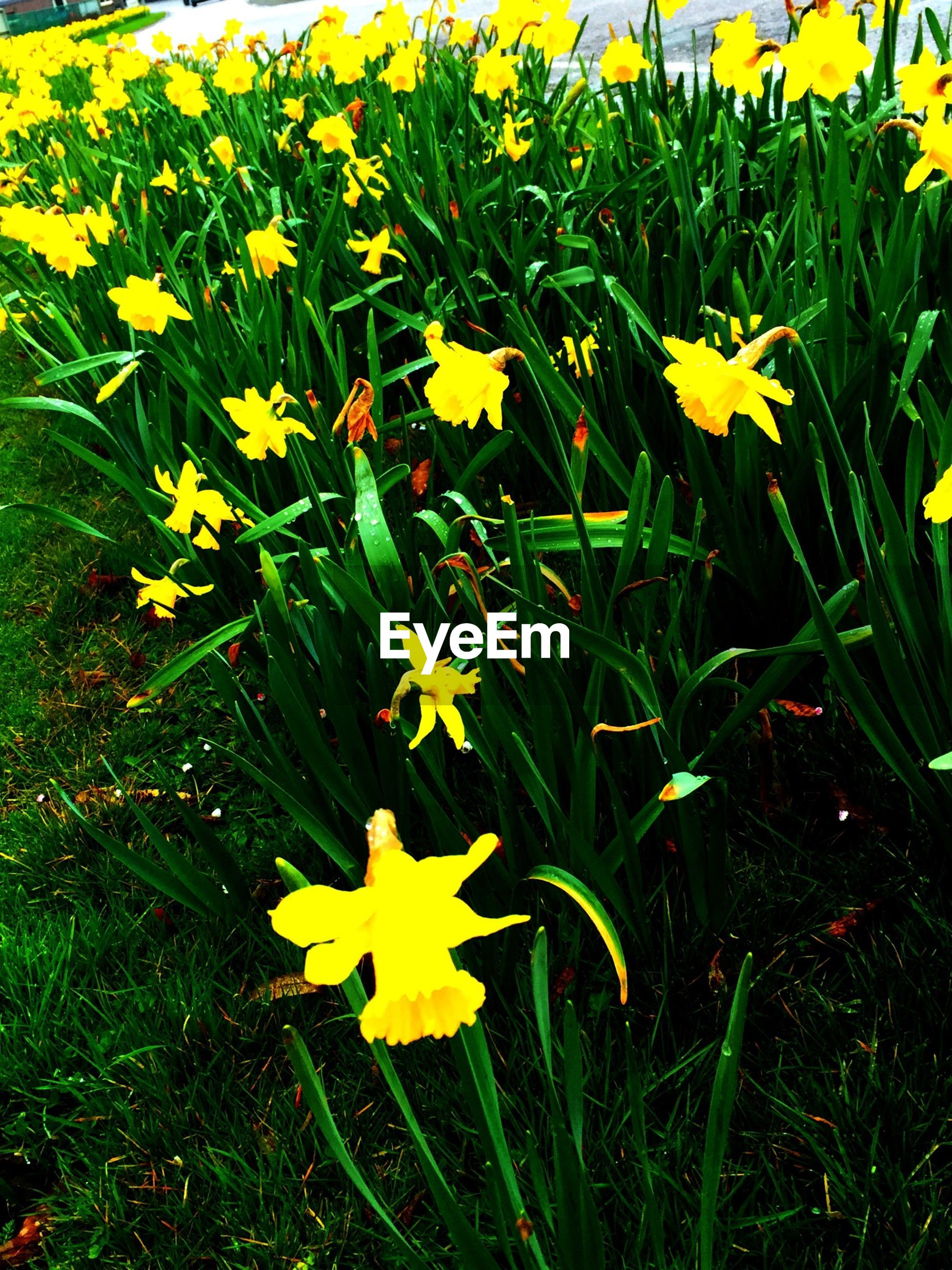 Yellow daffodil flowers in park