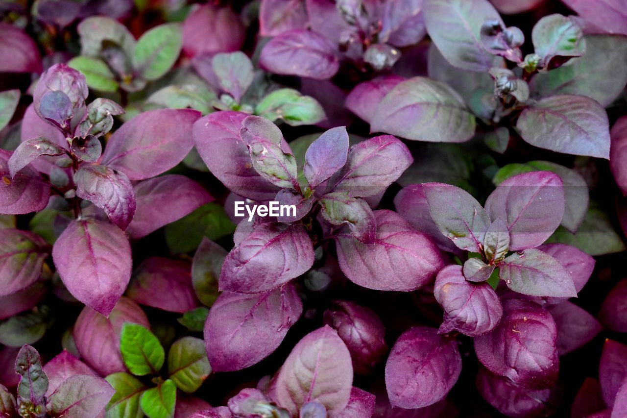 freshness, flower, flowering plant, full frame, close-up, beauty in nature, backgrounds, plant, petal, vulnerability, fragility, no people, pink color, growth, inflorescence, flower head, day, nature, abundance, outdoors, springtime, purple, bunch of flowers, lilac