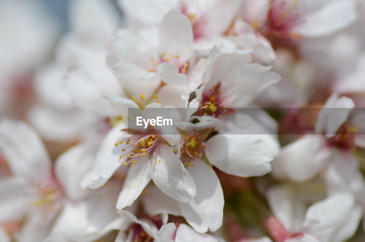 plant, freshness, flower, growth, beauty in nature, vulnerability, fragility, close-up, flowering plant, petal, white color, no people, full frame, flower head, inflorescence, blossom, selective focus, nature, springtime, day, pollen, cherry blossom, spring, bunch of flowers