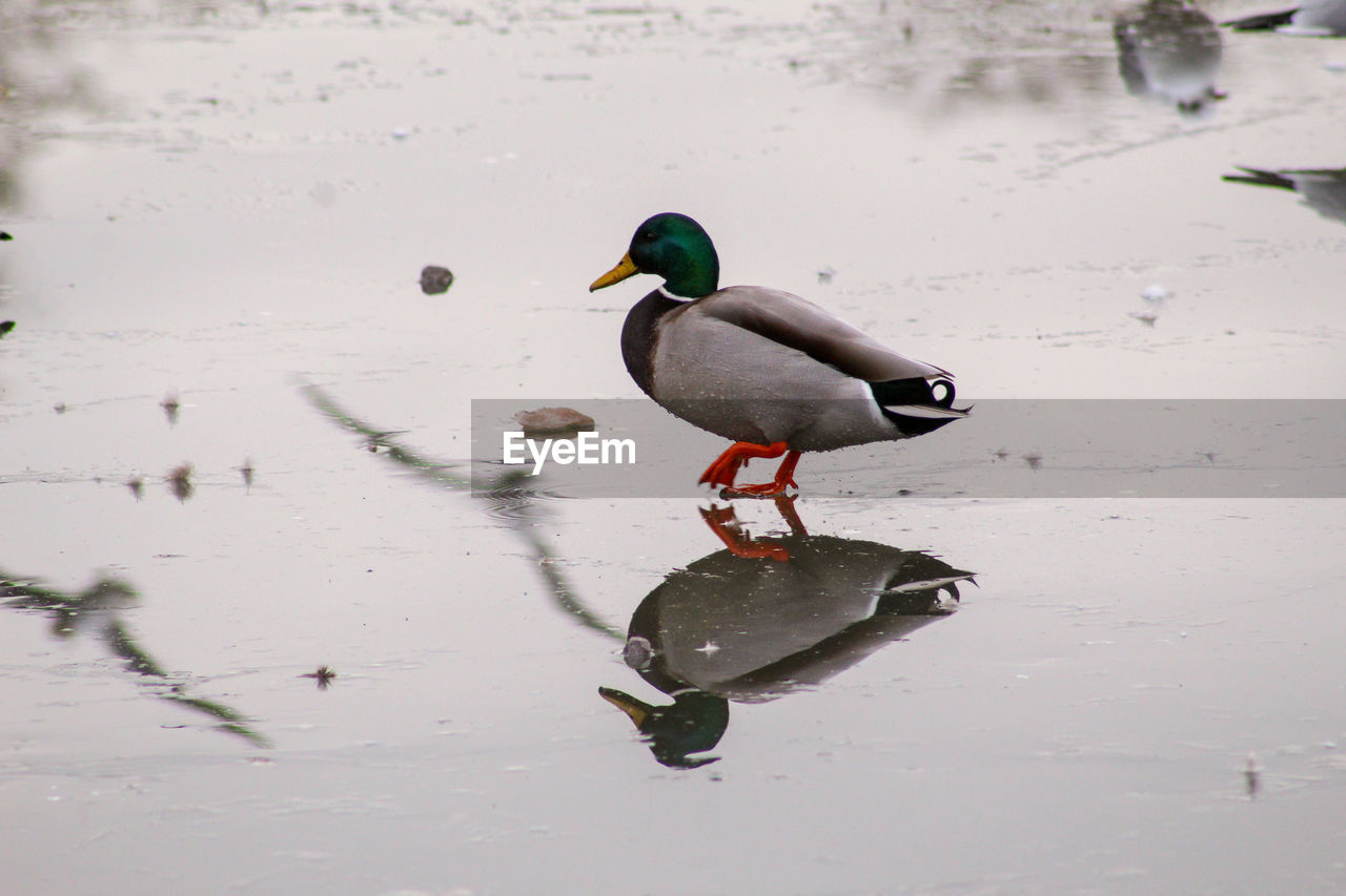 animals in the wild, animal wildlife, animal, animal themes, bird, lake, water, vertebrate, one animal, reflection, no people, duck, nature, poultry, waterfront, day, cold temperature, high angle view, swimming