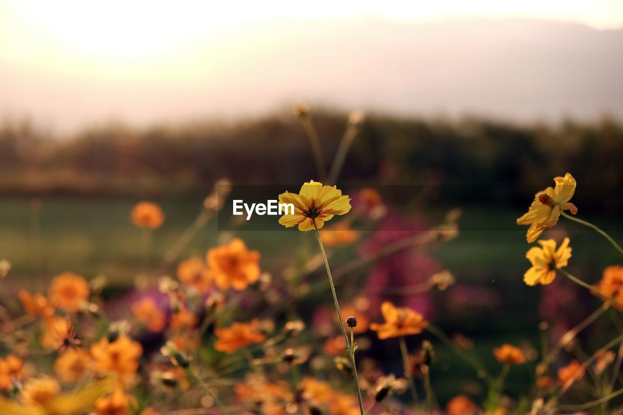 flower, nature, growth, plant, fragility, beauty in nature, flower head, petal, freshness, focus on foreground, no people, blooming, outdoors, cosmos flower, close-up, day