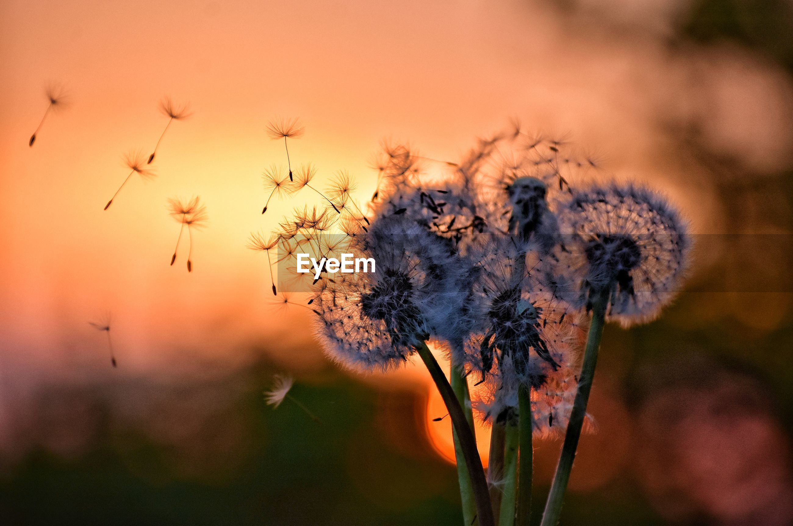 Fluffy dandelions on sunset background in gdynia