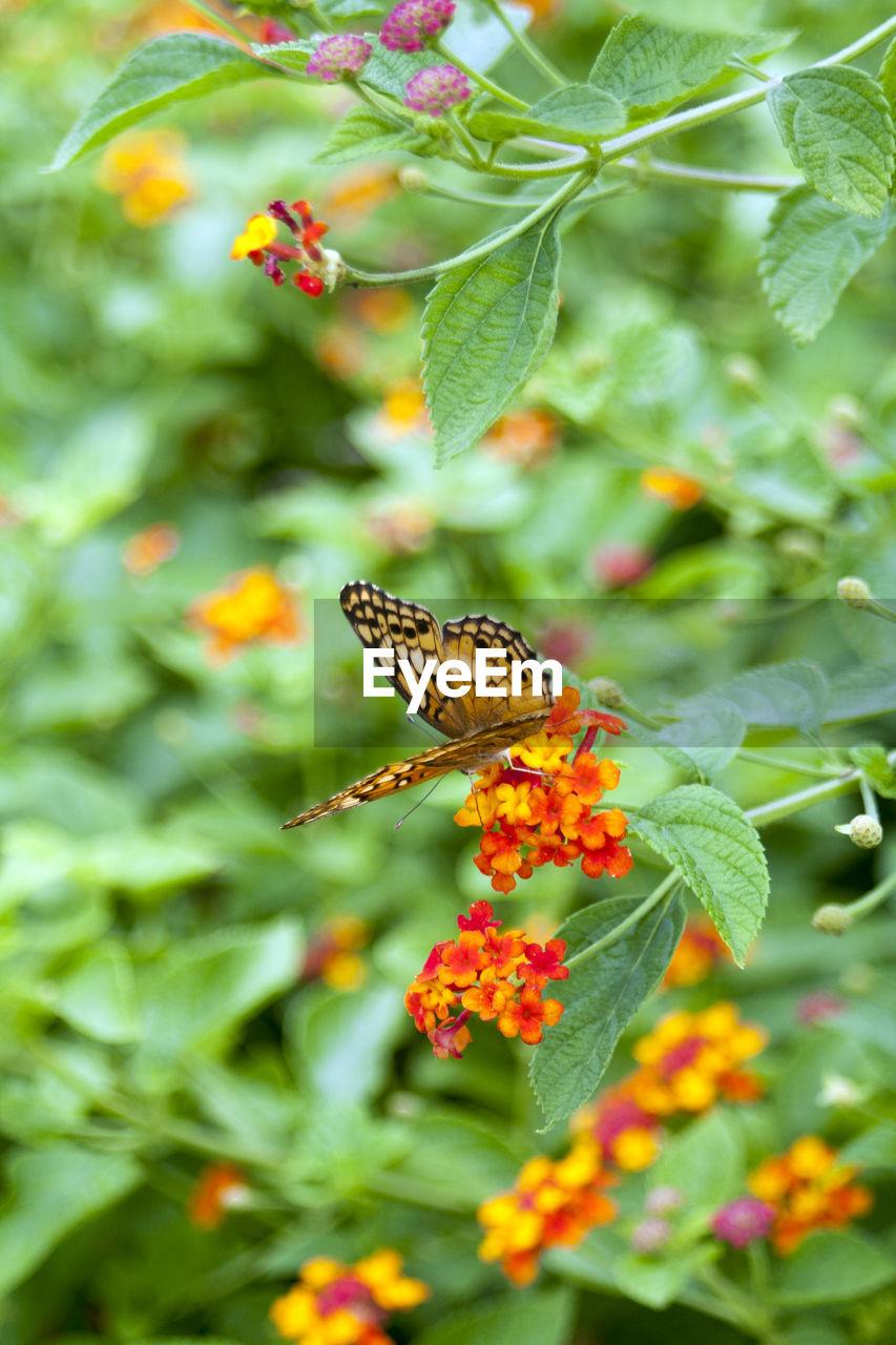 High angle view of butterfly pollinating on orange lantana camaras