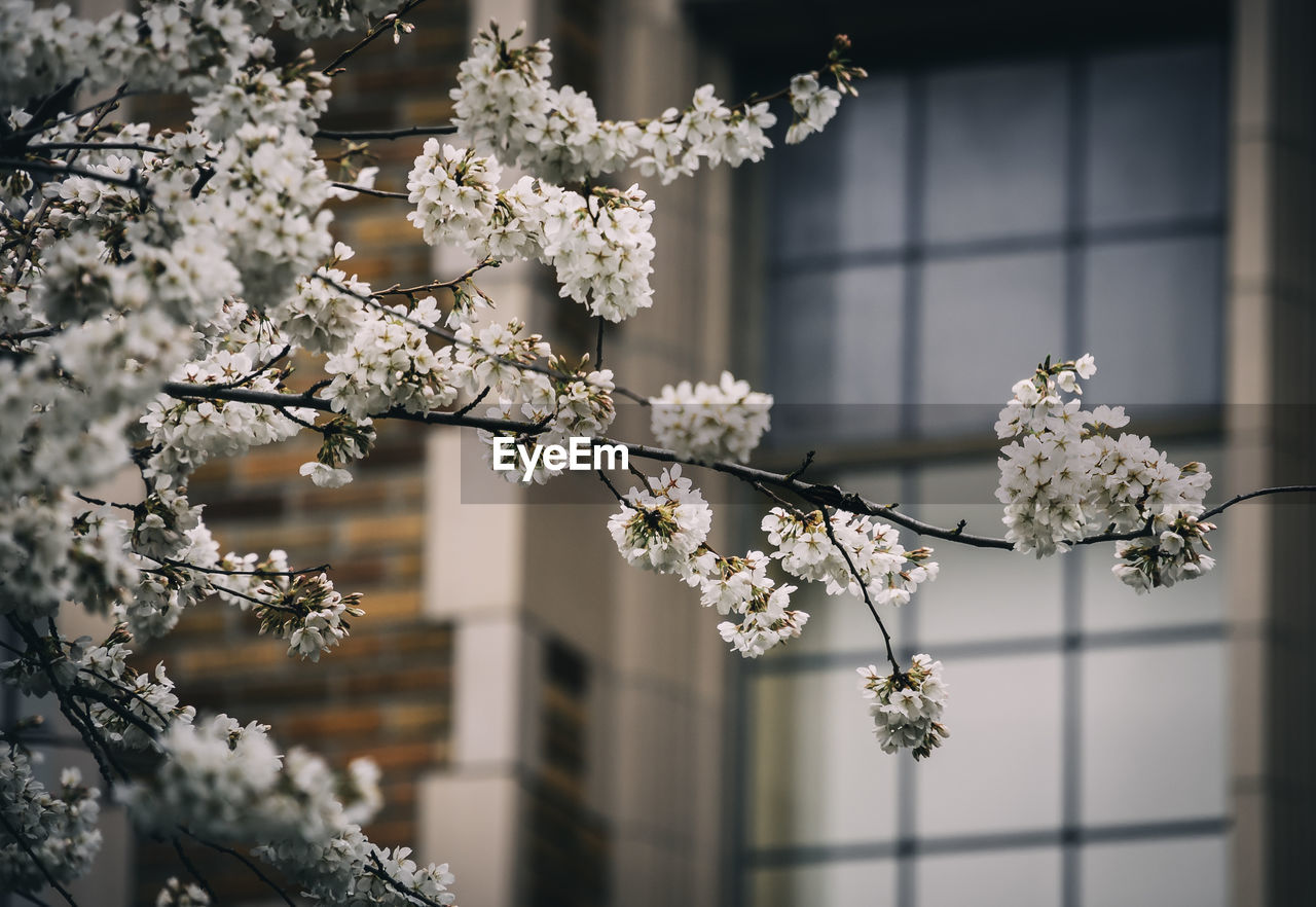 flowering plant, plant, flower, fragility, vulnerability, growth, tree, focus on foreground, nature, beauty in nature, freshness, white color, no people, day, close-up, blossom, branch, springtime, building exterior, flower head, outdoors, cherry blossom, cherry tree