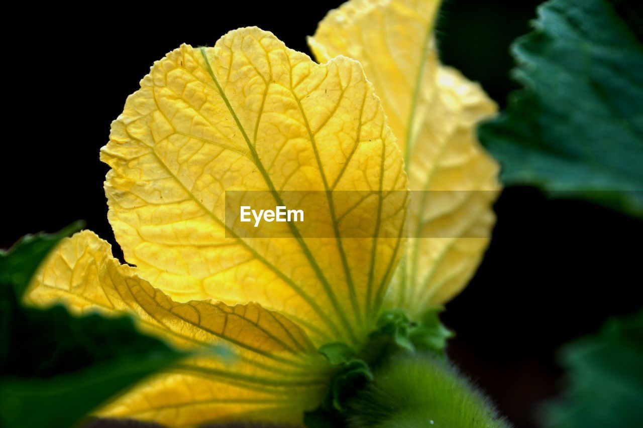 plant part, leaf, yellow, close-up, plant, beauty in nature, nature, no people, growth, selective focus, leaf vein, black background, vulnerability, fragility, outdoors, day, focus on foreground, natural pattern, green color, autumn, change, leaves, natural condition