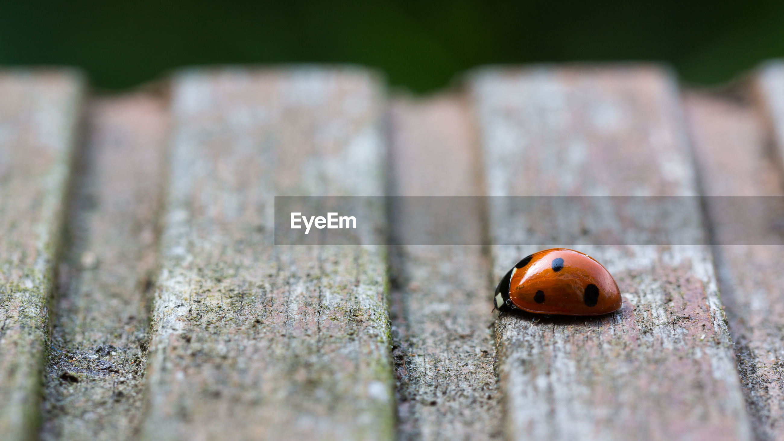 ladybug, beetle, insect, close-up, macro photography, animal themes, animal, animal wildlife, green, wood, selective focus, one animal, no people, spotted, nature, leaf, wildlife, outdoors, day, plant
