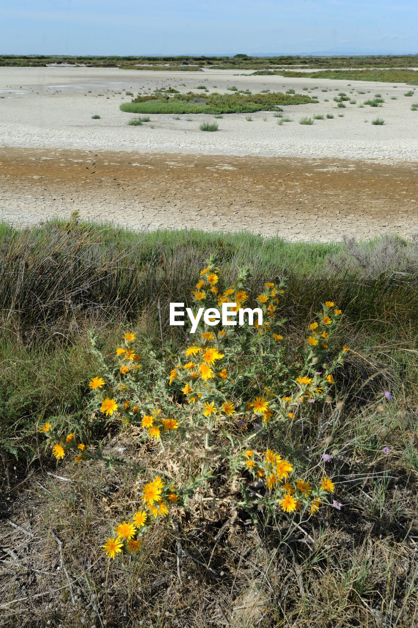 plant, land, water, flower, nature, flowering plant, beauty in nature, environment, sea, beach, grass, no people, scenics - nature, landscape, day, sky, field, yellow, tranquil scene, freshness, outdoors