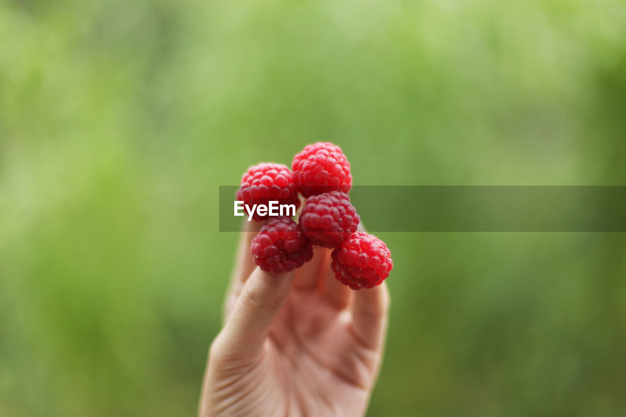 Cropped image of person holding raspberries