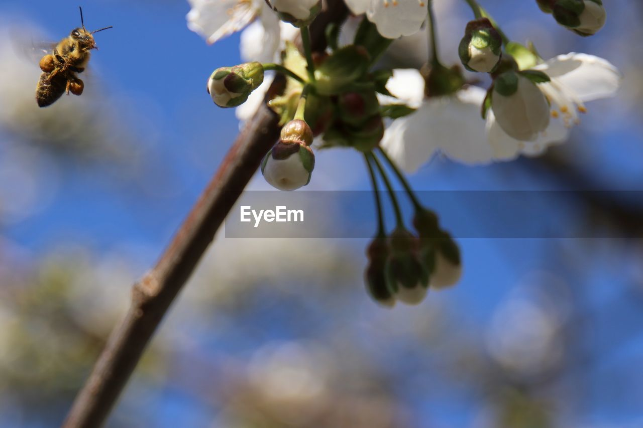 growth, plant, low angle view, flower, beauty in nature, close-up, freshness, focus on foreground, no people, nature, fragility, tree, flowering plant, vulnerability, day, branch, bee, selective focus, twig, petal, flower head, springtime, pollination