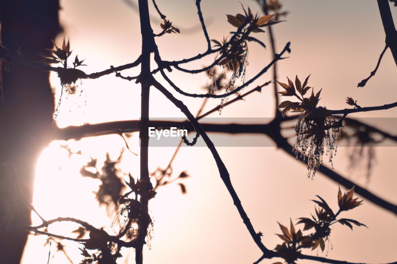 sky, sunset, tree, plant, branch, silhouette, nature, beauty in nature, tranquility, no people, low angle view, growth, focus on foreground, outdoors, selective focus, bare tree, close-up, clear sky, scenics - nature, sunlight