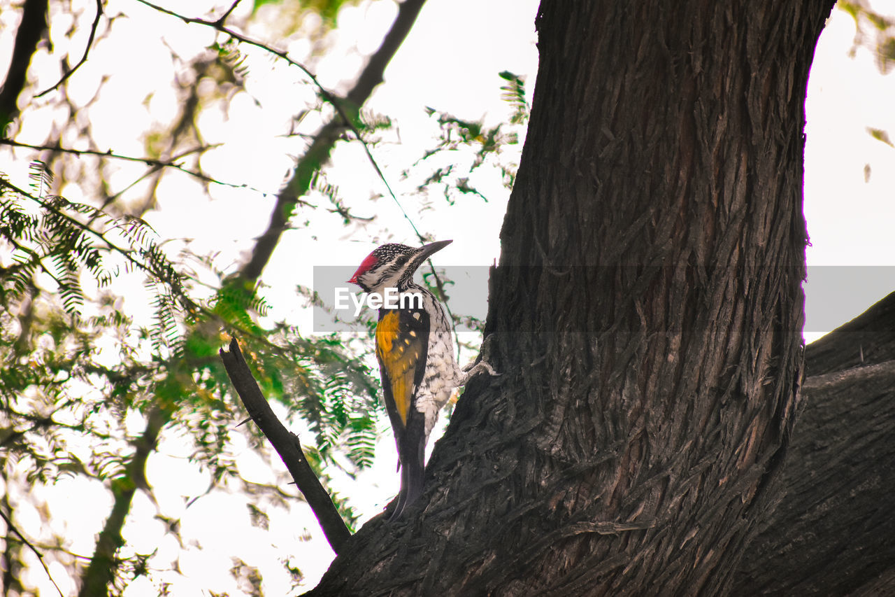 tree, trunk, tree trunk, plant, branch, nature, animal themes, animal wildlife, vertebrate, animal, day, one animal, low angle view, no people, animals in the wild, perching, woodpecker, outdoors, focus on foreground, sky, bark