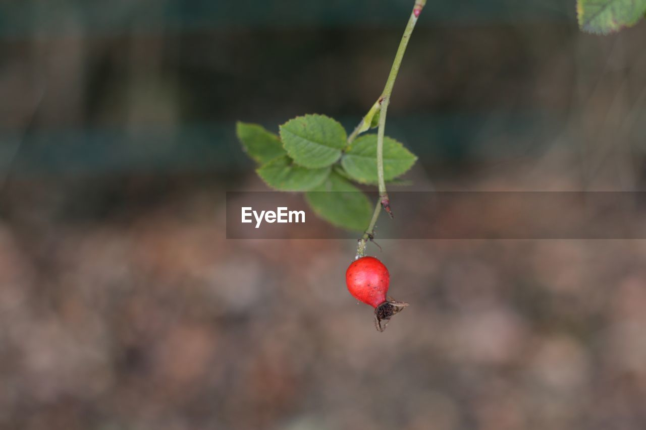 red, fruit, focus on foreground, healthy eating, food and drink, close-up, growth, food, day, plant part, leaf, freshness, nature, no people, beauty in nature, berry fruit, plant, wellbeing, outdoors, rose hip, ripe