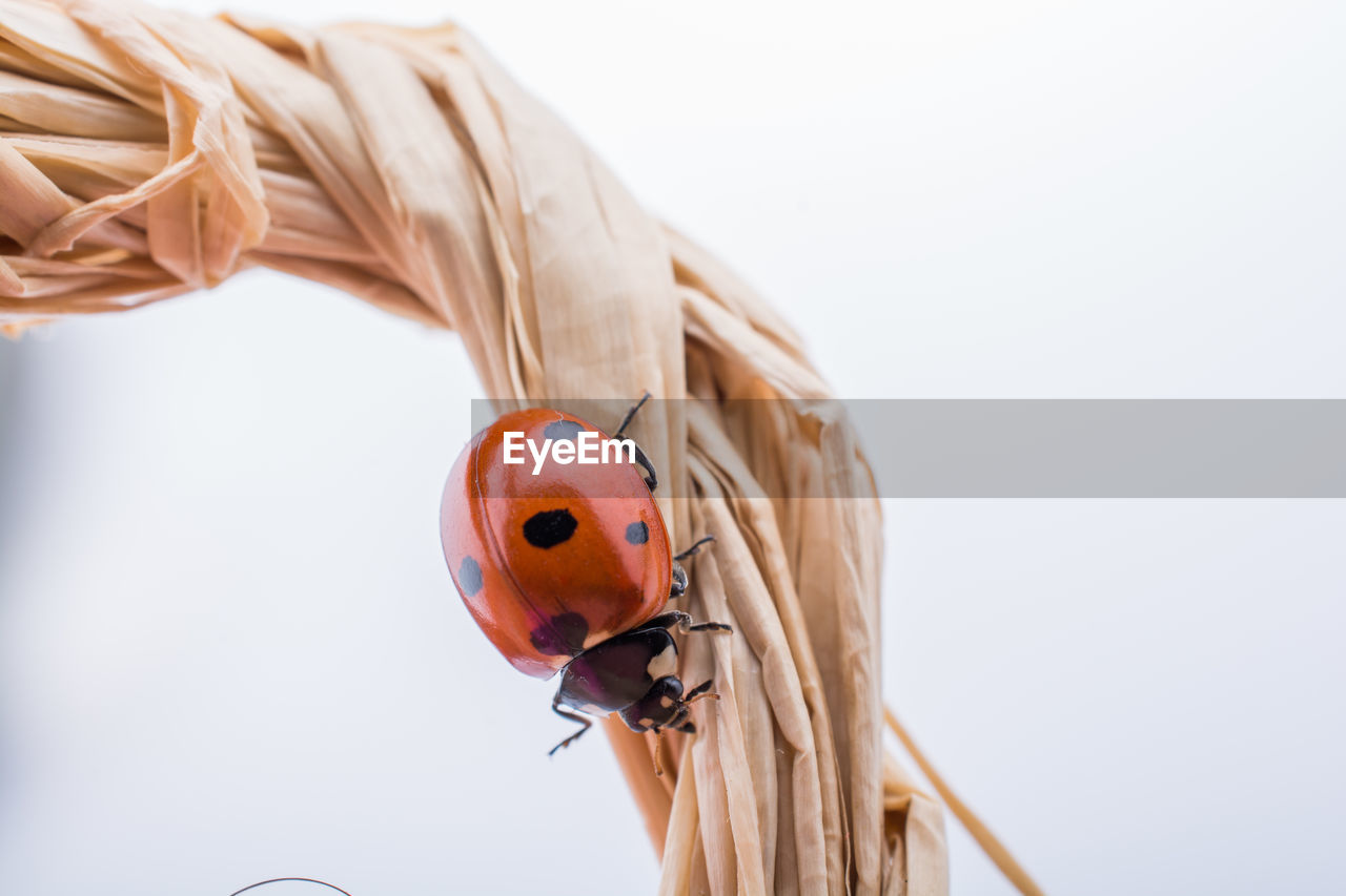 close-up, focus on foreground, ladybug, animals in the wild, insect, animal, one animal, white background, animal wildlife, animal themes, beetle, invertebrate, indoors, wood - material, no people, studio shot, day, still life, red, copy space