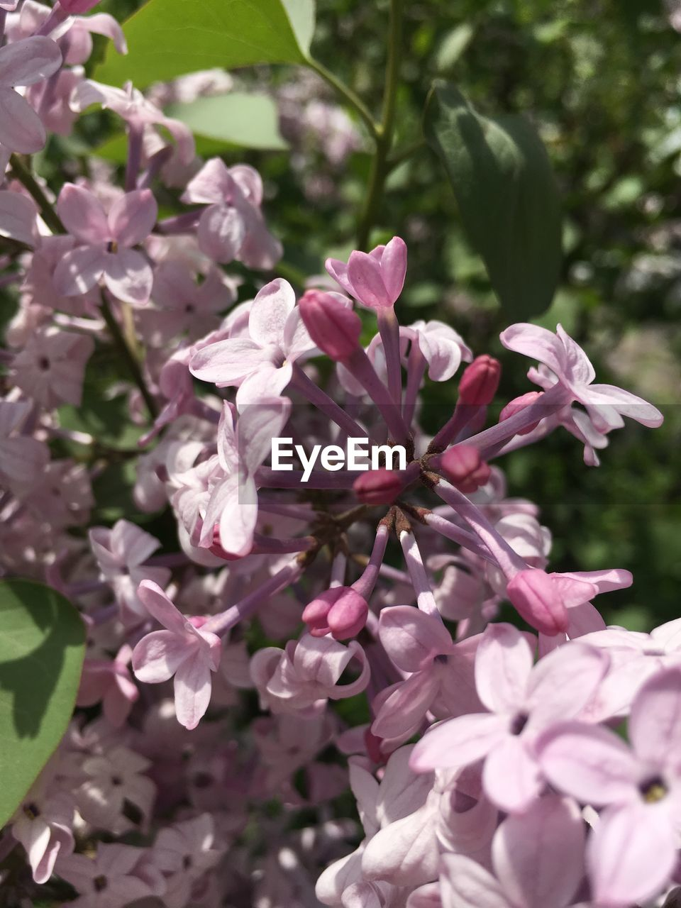 flower, flowering plant, plant, freshness, beauty in nature, vulnerability, fragility, growth, pink color, petal, close-up, day, nature, no people, flower head, inflorescence, outdoors, blossom, springtime, botany, lilac, purple, bunch of flowers, spring