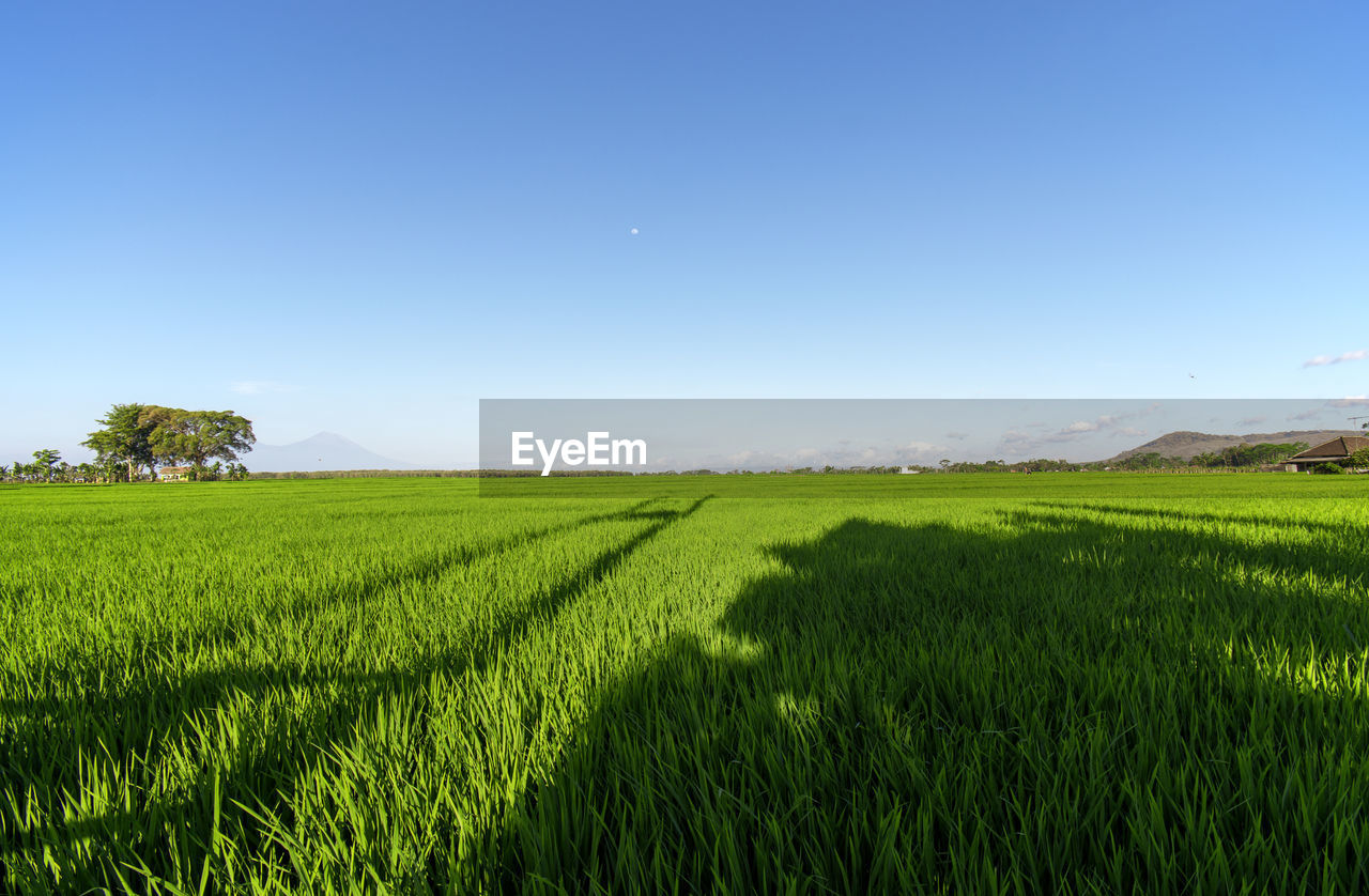 field, landscape, land, sky, plant, environment, scenics - nature, green color, tranquility, tranquil scene, beauty in nature, growth, agriculture, rural scene, grass, nature, crop, blue, no people, clear sky, outdoors, plantation