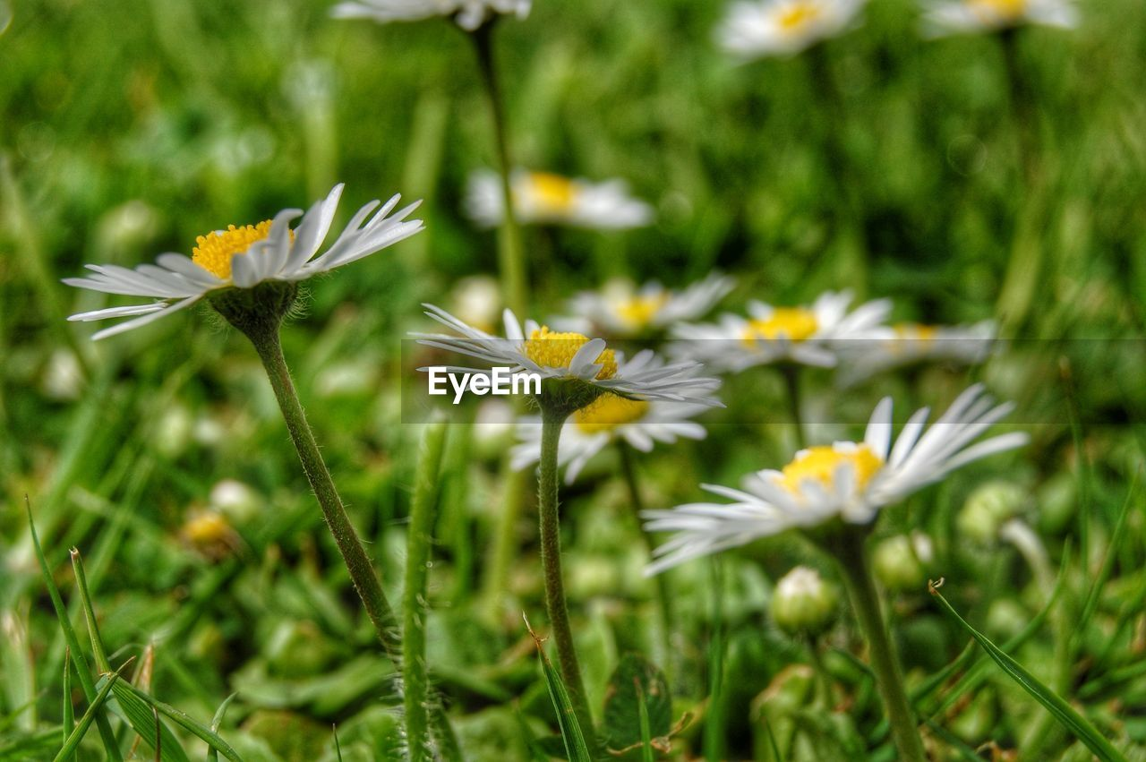 Close-Up Of Daisies Blooming Outdoors