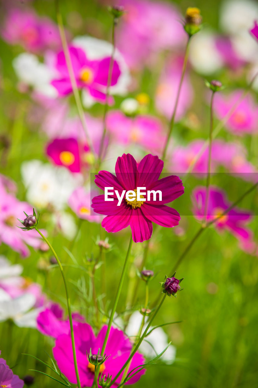 flowering plant, flower, plant, freshness, vulnerability, fragility, beauty in nature, growth, petal, flower head, inflorescence, close-up, pink color, focus on foreground, no people, nature, cosmos flower, selective focus, day, plant stem, pollen, outdoors, purple