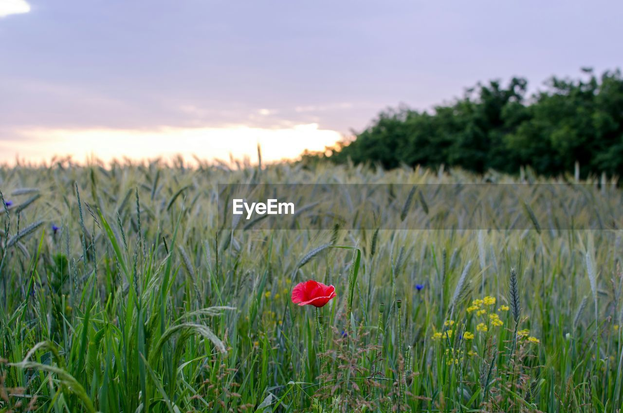 growth, field, nature, beauty in nature, plant, flower, grass, tranquility, green color, no people, red, agriculture, outdoors, rural scene, sky, tranquil scene, landscape, sunset, scenics, blooming, day, cereal plant, freshness, close-up