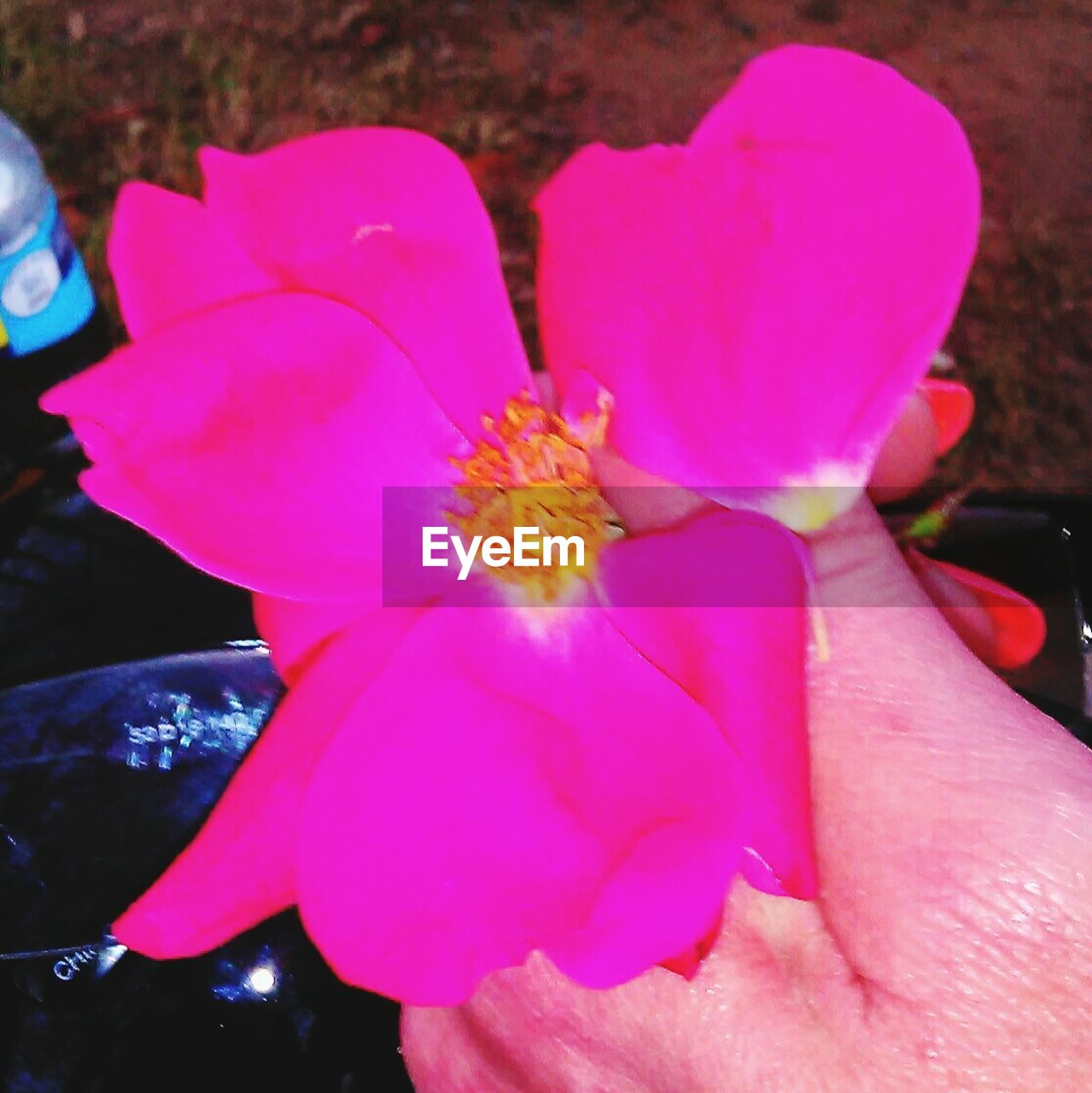 flower, petal, human hand, real people, fragility, beauty in nature, human body part, nature, close-up, flower head, pink color, one person, outdoors, freshness, day, blooming, people