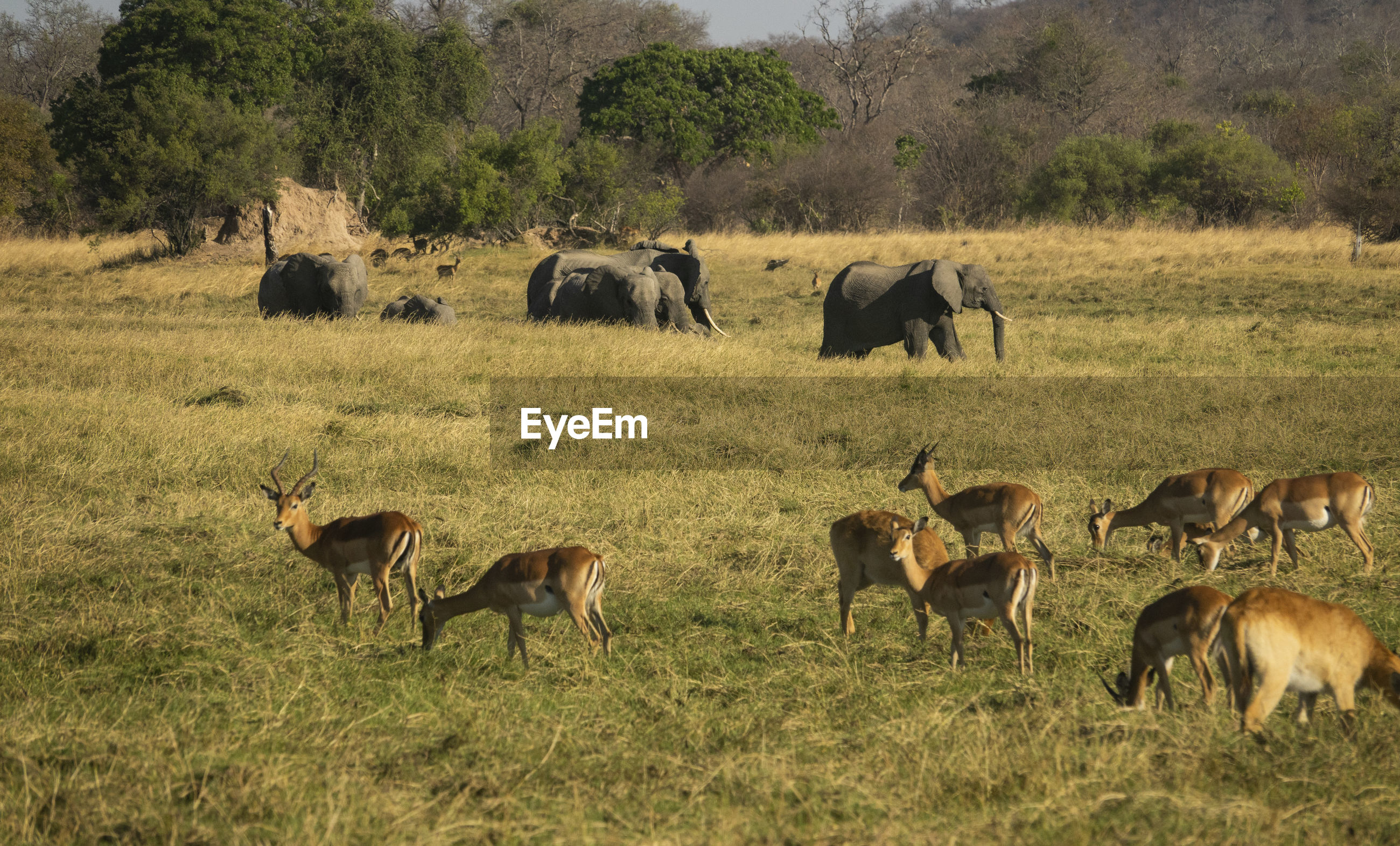 deers and elephants on the field in kafue national park
