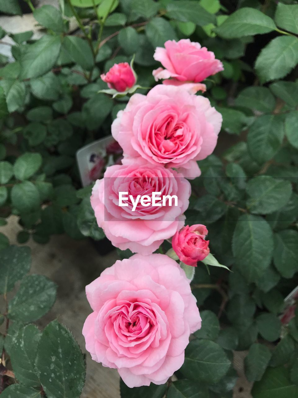 beauty in nature, pink color, flowering plant, plant, freshness, flower, flower head, rose, inflorescence, leaf, petal, growth, plant part, close-up, fragility, vulnerability, rose - flower, nature, high angle view, no people, outdoors