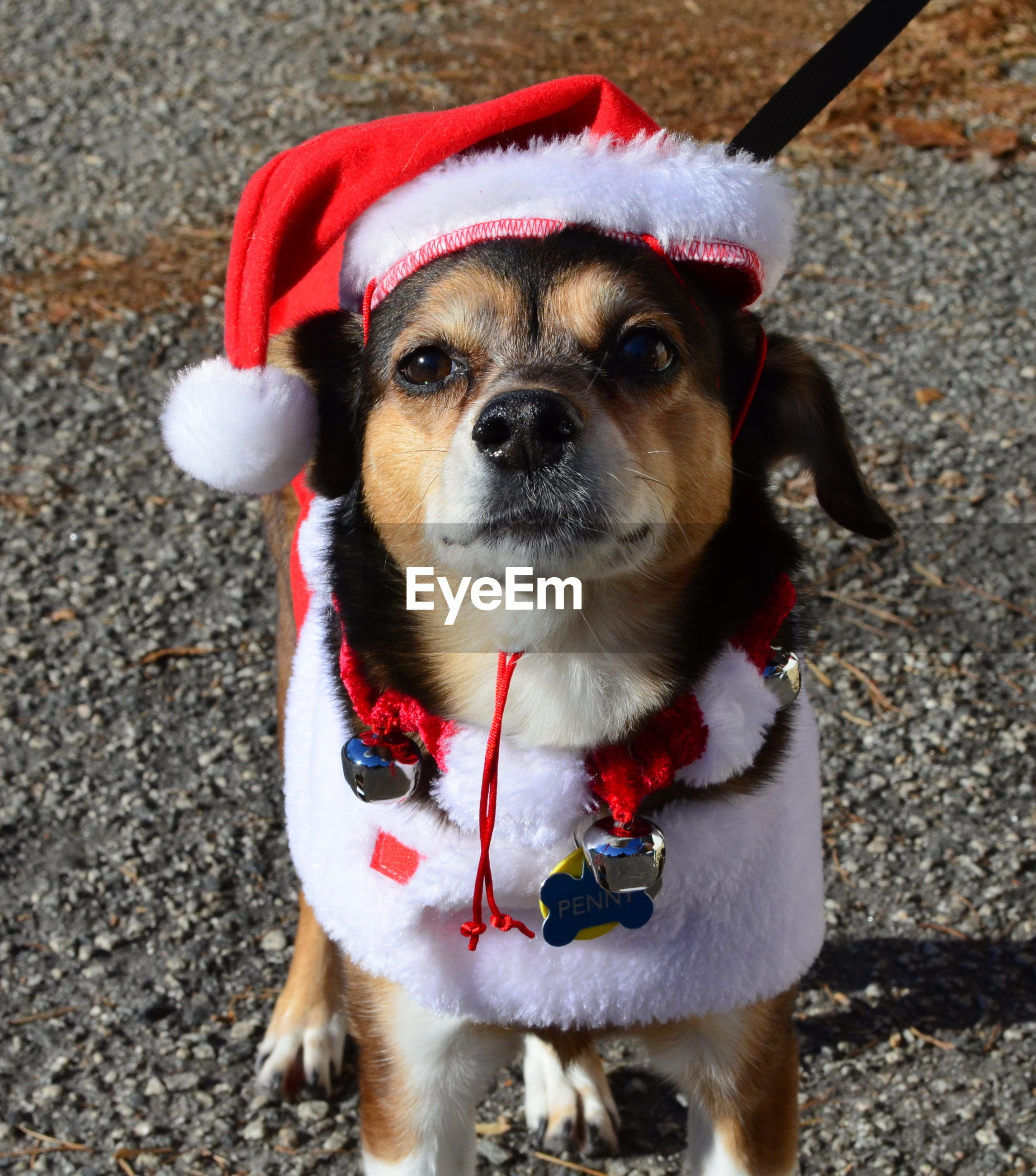 High angle view of dog wearing santa hat standing on street