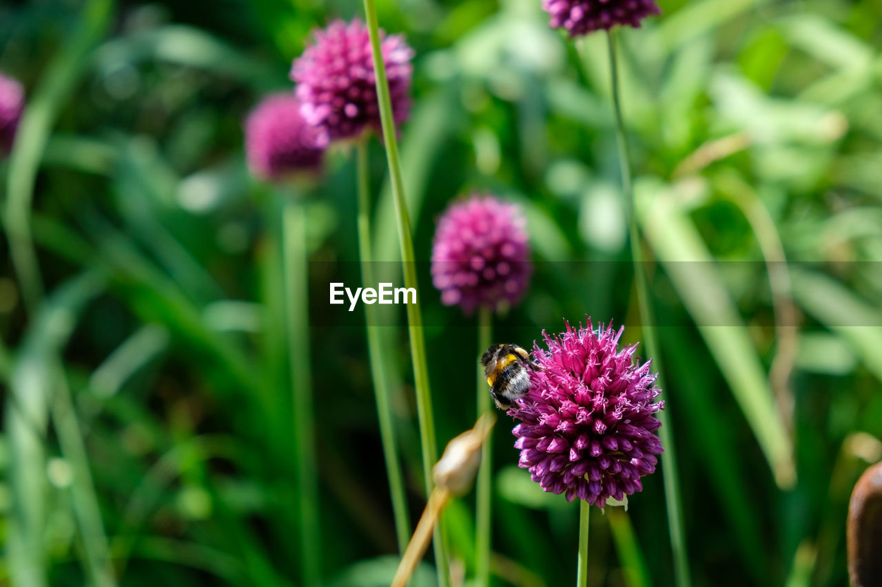 CLOSE-UP OF INSECT POLLINATING ON PURPLE FLOWERING PLANT