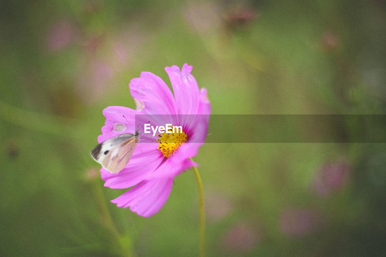 flower, flowering plant, fragility, vulnerability, plant, freshness, petal, beauty in nature, pink color, close-up, flower head, growth, inflorescence, focus on foreground, nature, pollen, no people, day, cosmos flower, pollination