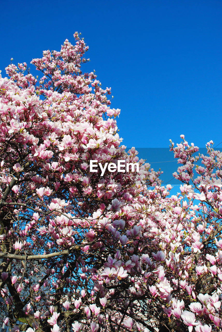 flower, beauty in nature, nature, blossom, pink color, low angle view, growth, fragility, tree, no people, freshness, springtime, day, blue, coral, clear sky, branch, lilac, undersea, outdoors, close-up