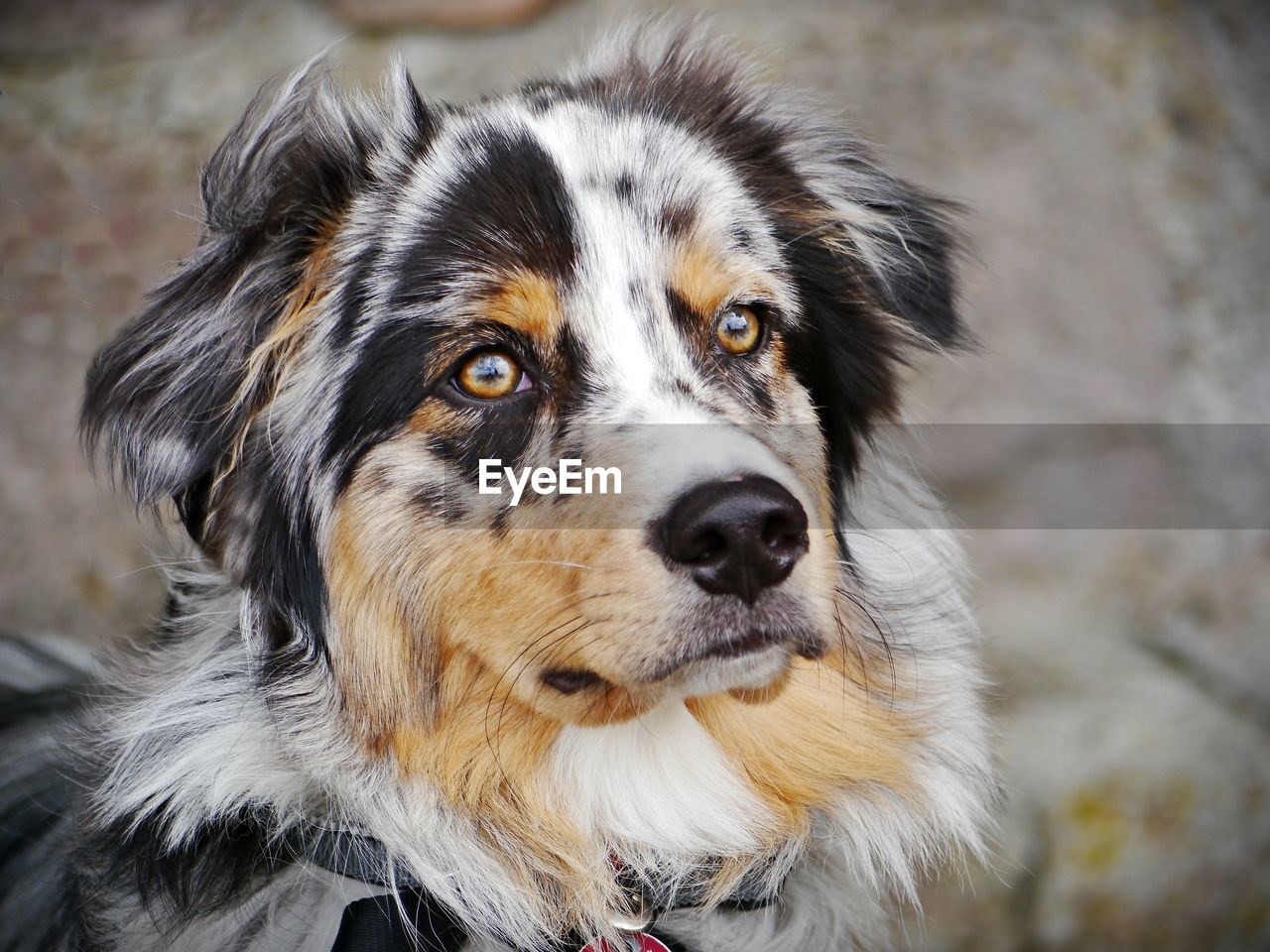dog, canine, one animal, animal, animal themes, mammal, pets, domestic animals, domestic, portrait, focus on foreground, vertebrate, looking at camera, close-up, no people, day, animal body part, animal head, outdoors, looking, border collie, mouth open, animal mouth, whisker
