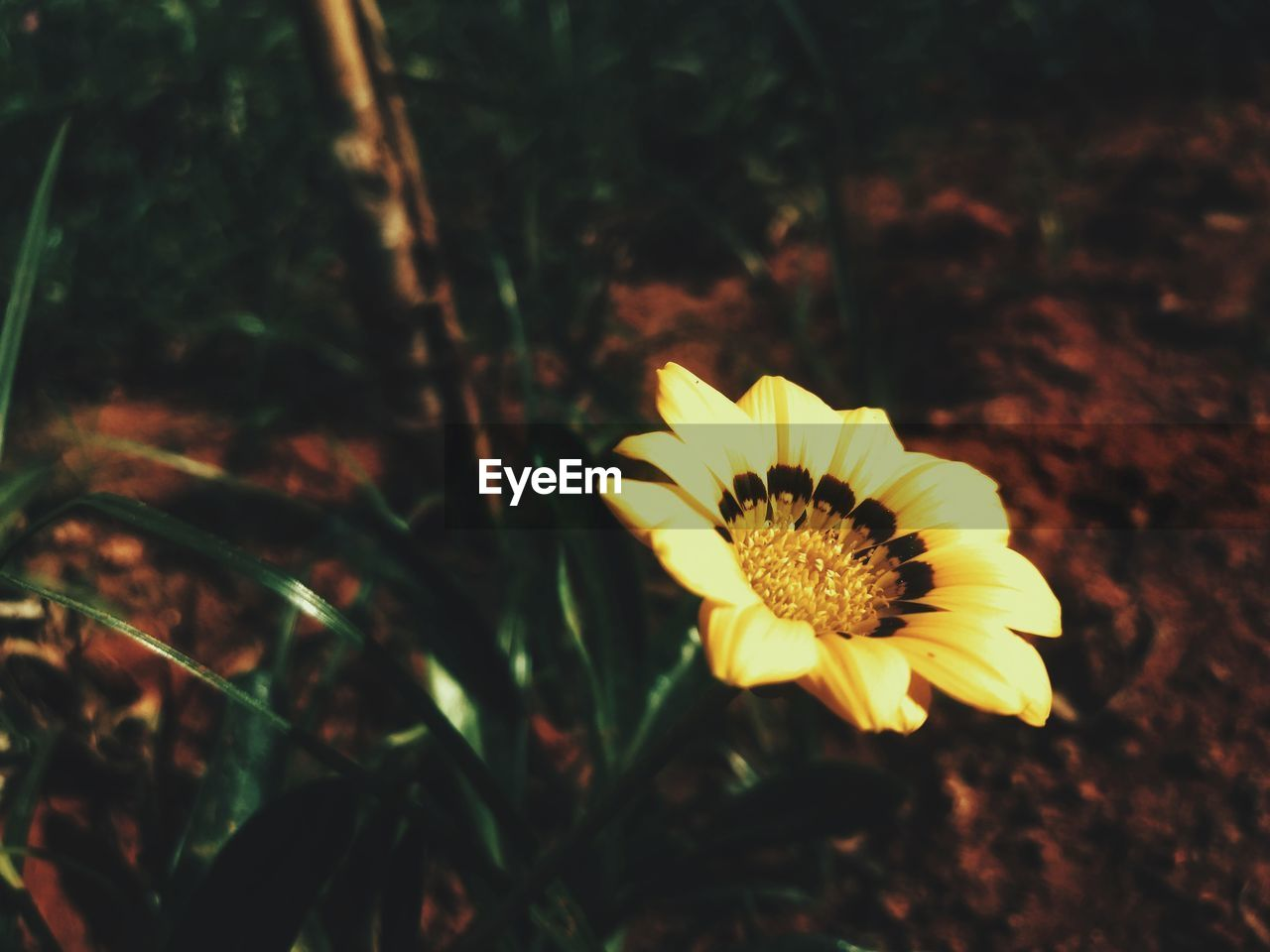 plant, flowering plant, flower, beauty in nature, fragility, yellow, freshness, vulnerability, flower head, close-up, petal, growth, inflorescence, nature, land, no people, focus on foreground, outdoors, pollen, gazania