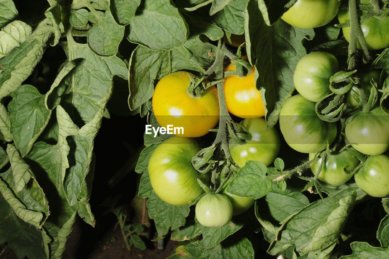 Close-Up Of Green Tomato Plant In Vegetable Garden