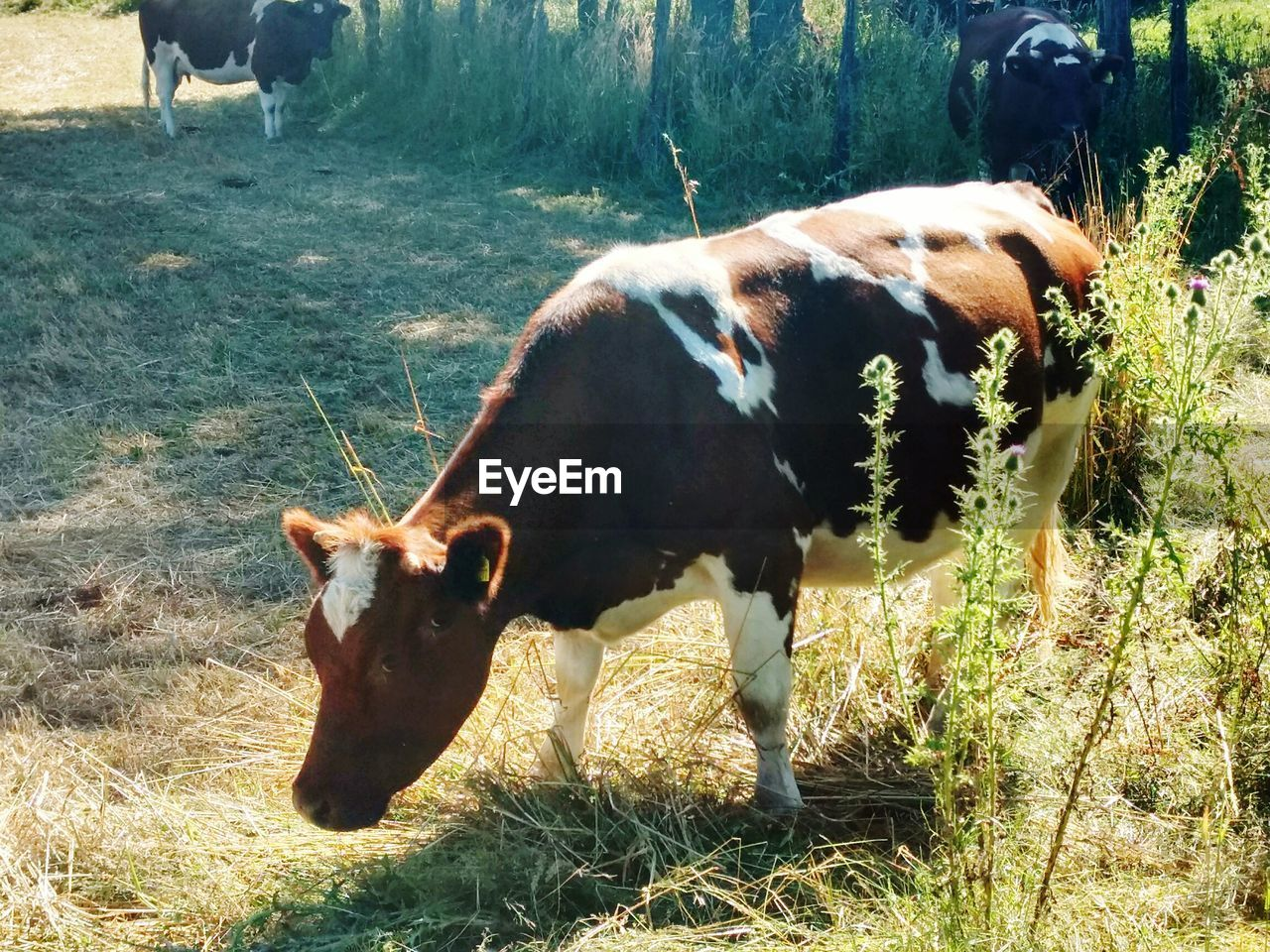 domestic animals, animal themes, mammal, cow, cattle, livestock, grass, domestic cattle, field, day, farm animal, no people, nature, sunlight, outdoors, one animal, domesticated animal tag, grazing, close-up