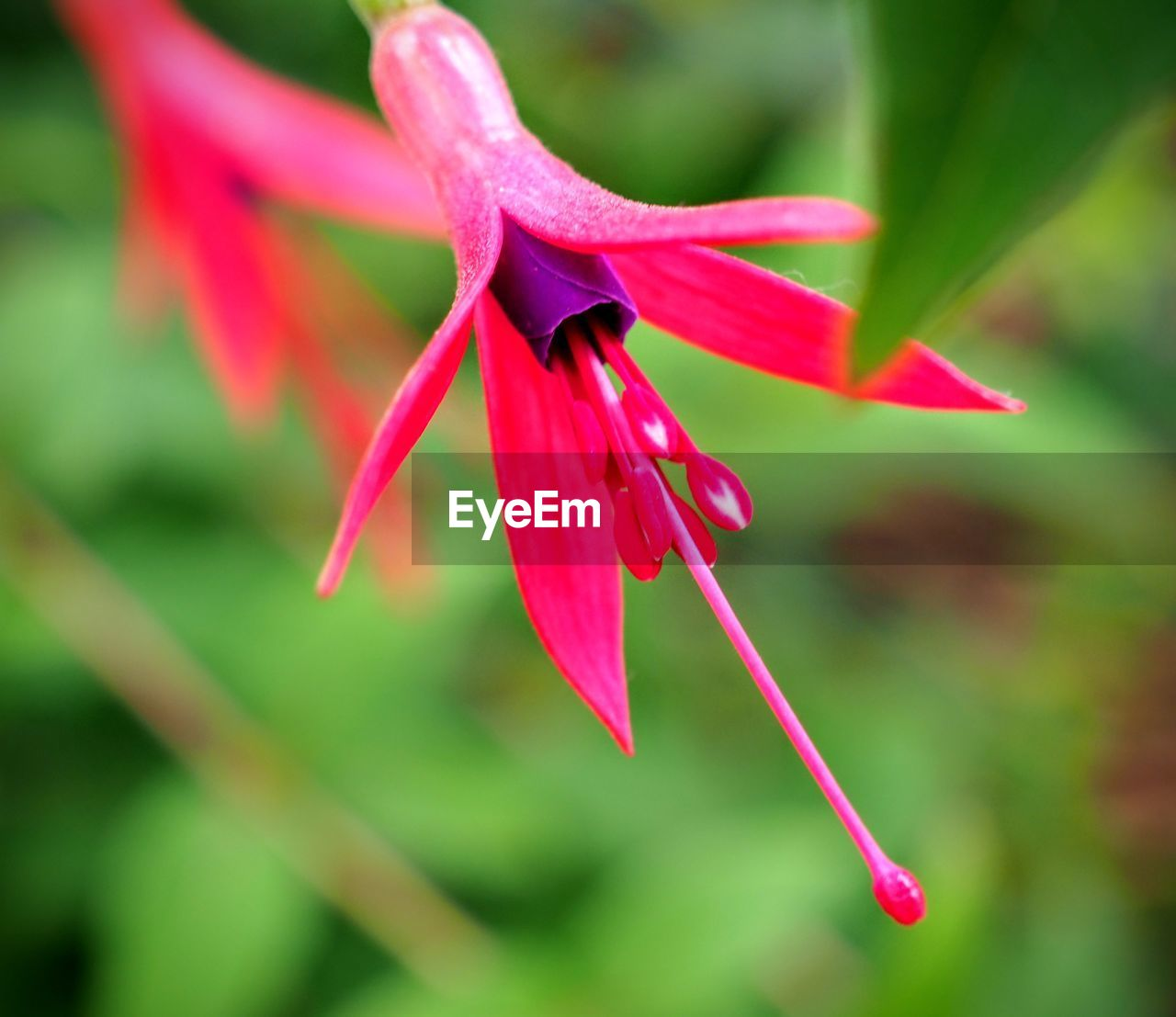 flowering plant, flower, plant, freshness, fragility, petal, vulnerability, beauty in nature, red, close-up, growth, flower head, inflorescence, focus on foreground, nature, no people, day, pink color, pollen, outdoors, sepal