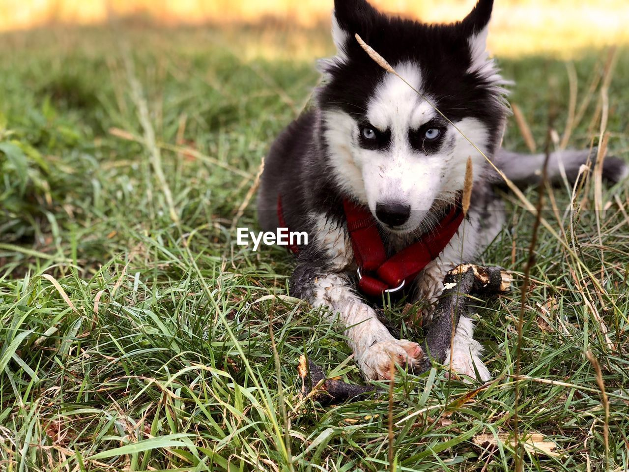 one animal, dog, pets, domestic, canine, animal themes, domestic animals, mammal, animal, grass, vertebrate, field, plant, land, nature, no people, day, portrait, looking at camera, animal body part, mouth open, border collie, animal head