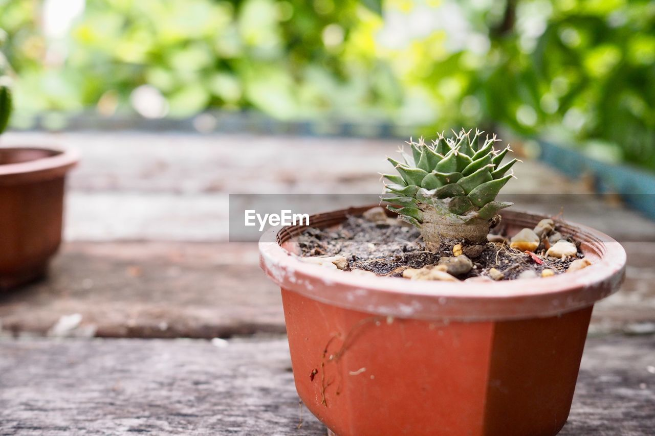 potted plant, growth, plant, focus on foreground, day, no people, close-up, nature, succulent plant, freshness, cactus, outdoors, leaf, beauty in nature, container, plant part, table, sunlight, dirt, botany, flower pot