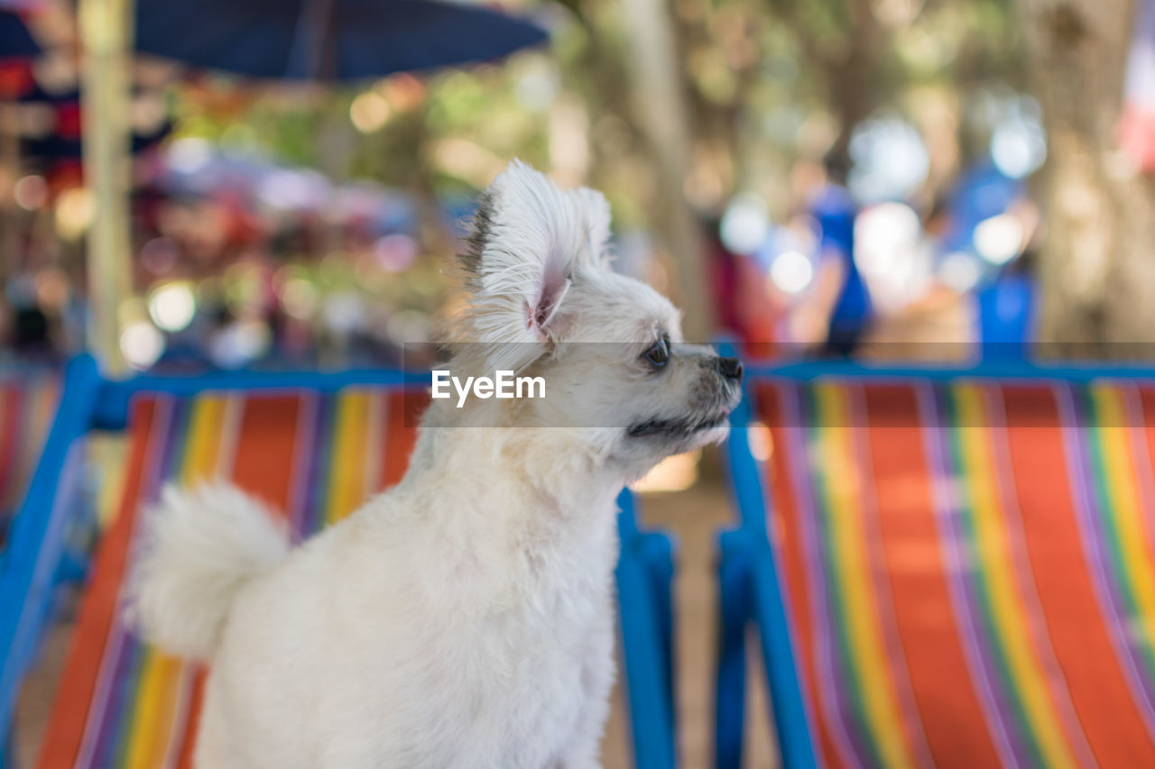 mammal, domestic, one animal, domestic animals, pets, animal themes, animal, canine, dog, vertebrate, focus on foreground, looking away, looking, no people, day, close-up, animal hair, hair, outdoors, multi colored, small