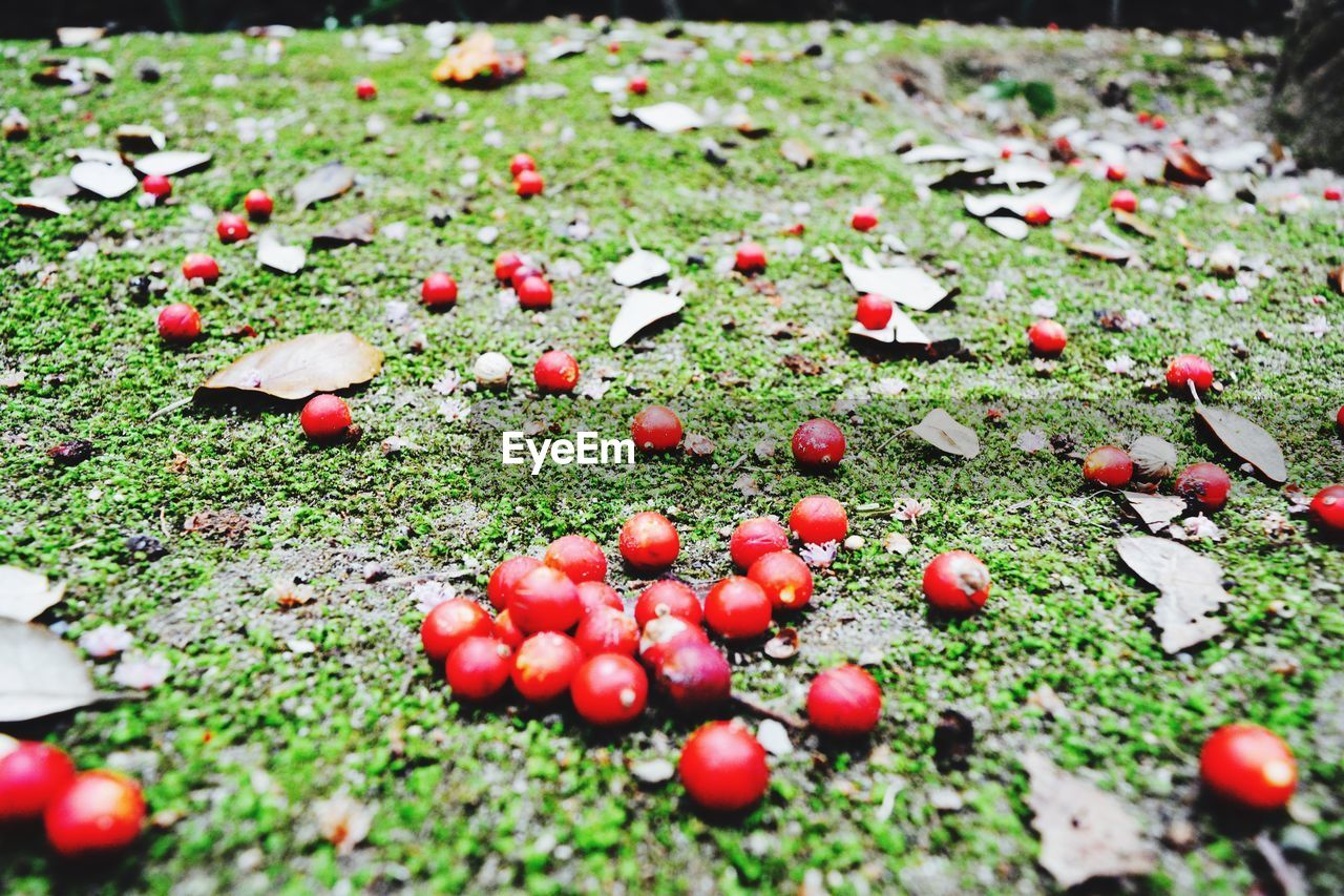 red, nature, outdoors, day, no people, field, beauty in nature, fruit, leaf, grass, close-up, food, freshness, fly agaric mushroom