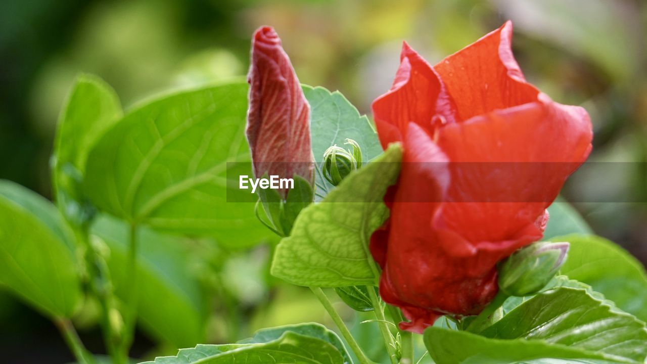 leaf, plant part, close-up, green color, plant, red, freshness, beauty in nature, growth, nature, selective focus, no people, flowering plant, vulnerability, flower, fragility, petal, focus on foreground, food, day, flower head