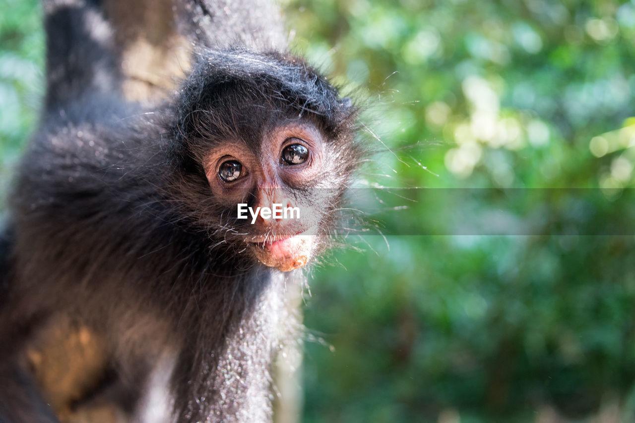 Close-Up Of Spider Monkey At Madidi National Park