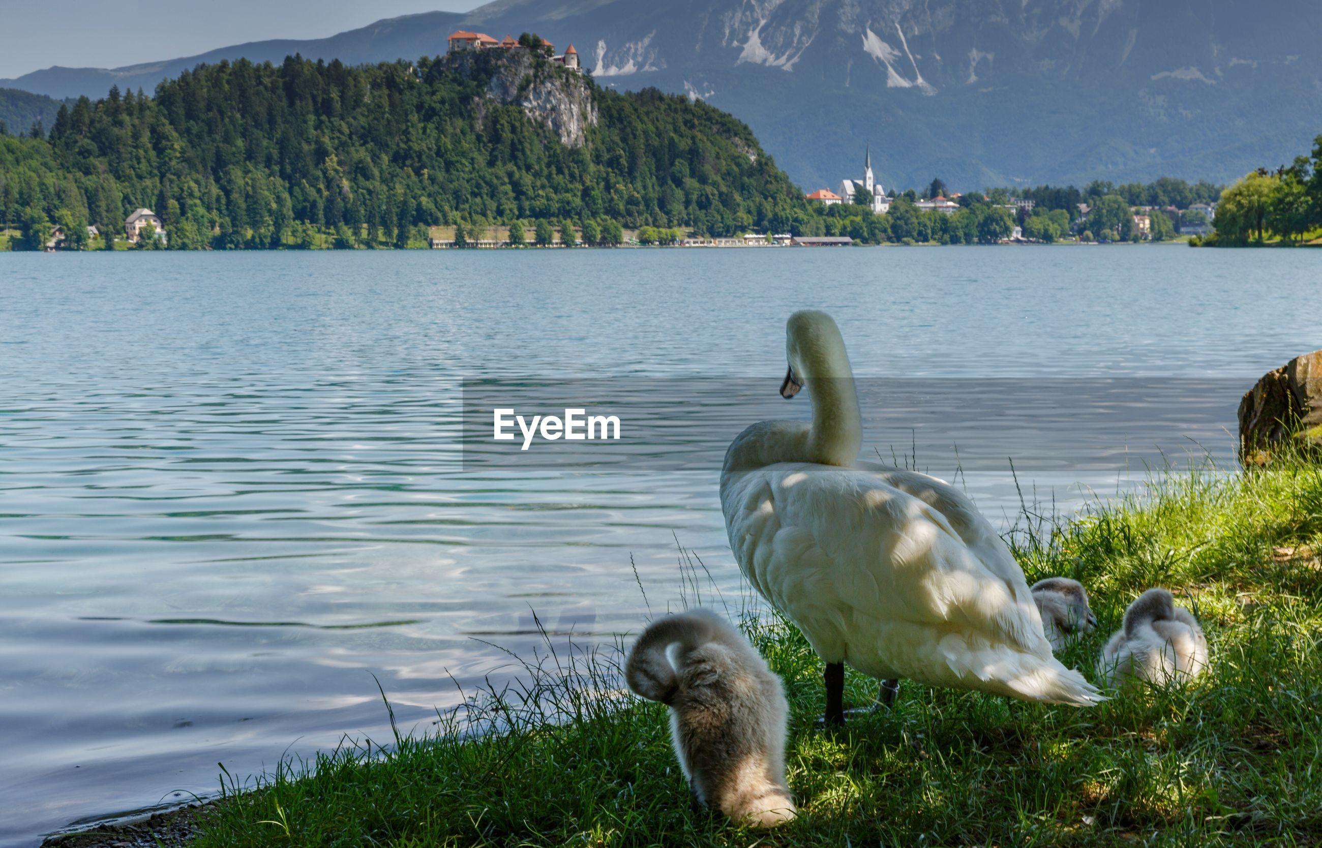 Swans perching on lakeshore