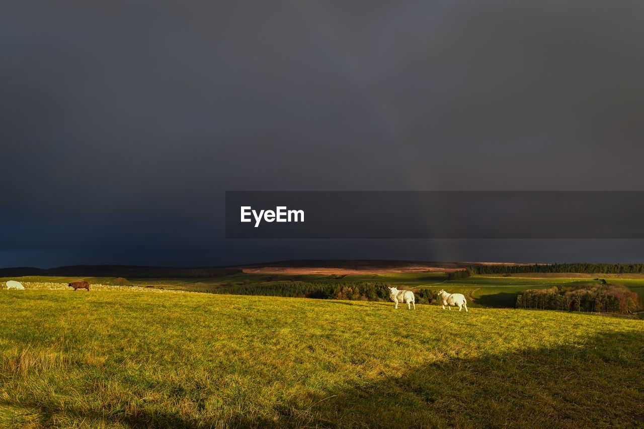 field, plant, land, grass, scenics - nature, sky, landscape, animal themes, environment, livestock, animal, beauty in nature, mammal, nature, green color, cloud - sky, domestic animals, grazing, group of animals, no people, outdoors, herbivorous