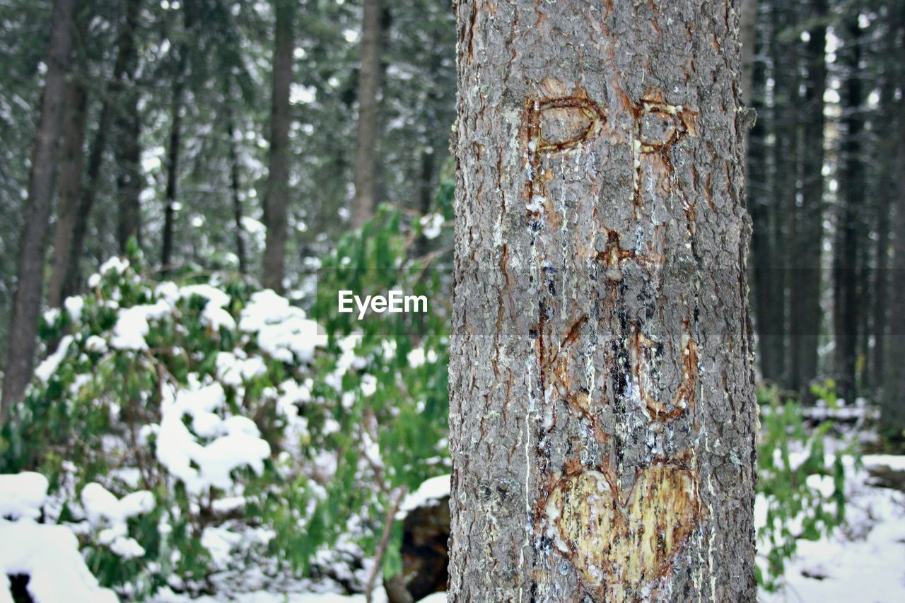tree trunk, tree, forest, nature, day, outdoors, focus on foreground, no people, winter, snow, close-up, beauty in nature