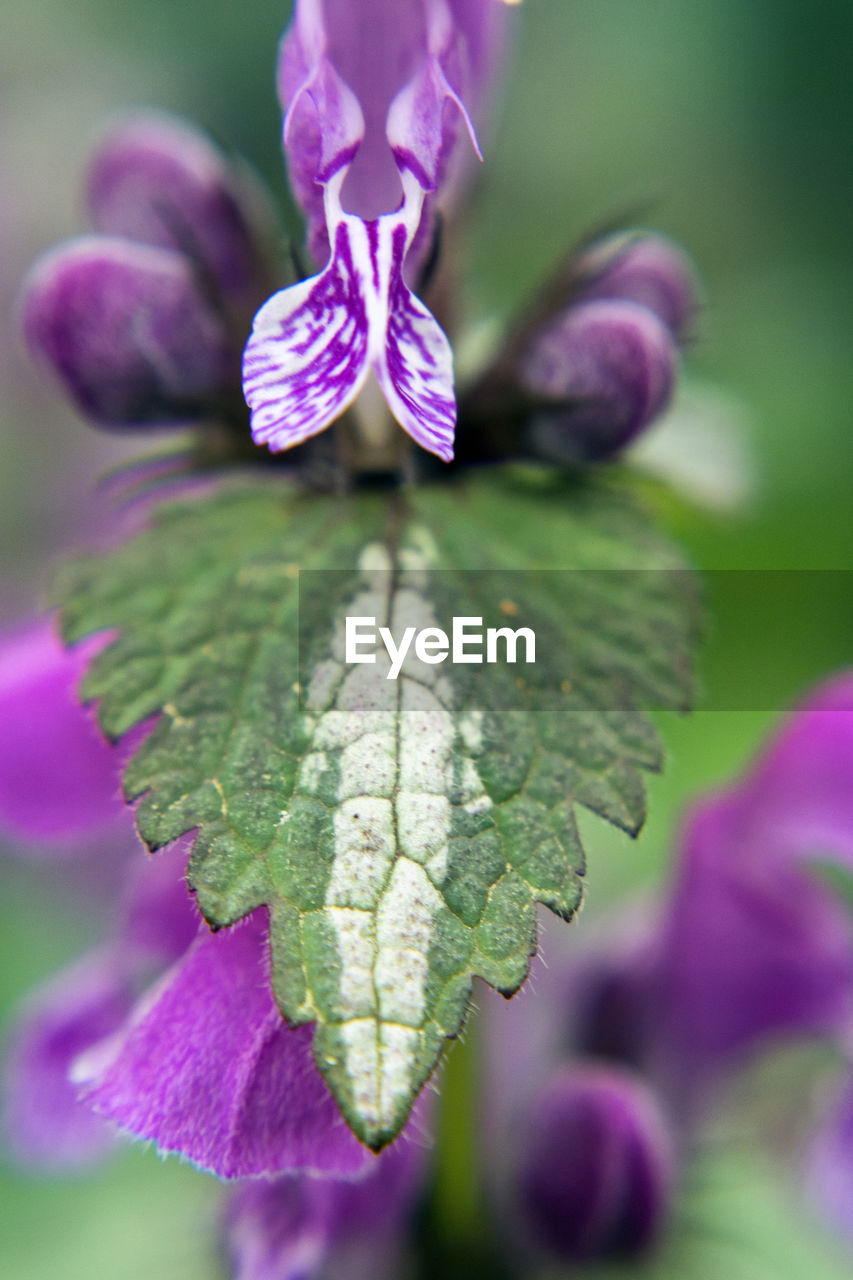 purple, nature, beauty in nature, growth, no people, fragility, leaf, close-up, day, outdoors, focus on foreground, plant, freshness, flower, petal, flower head