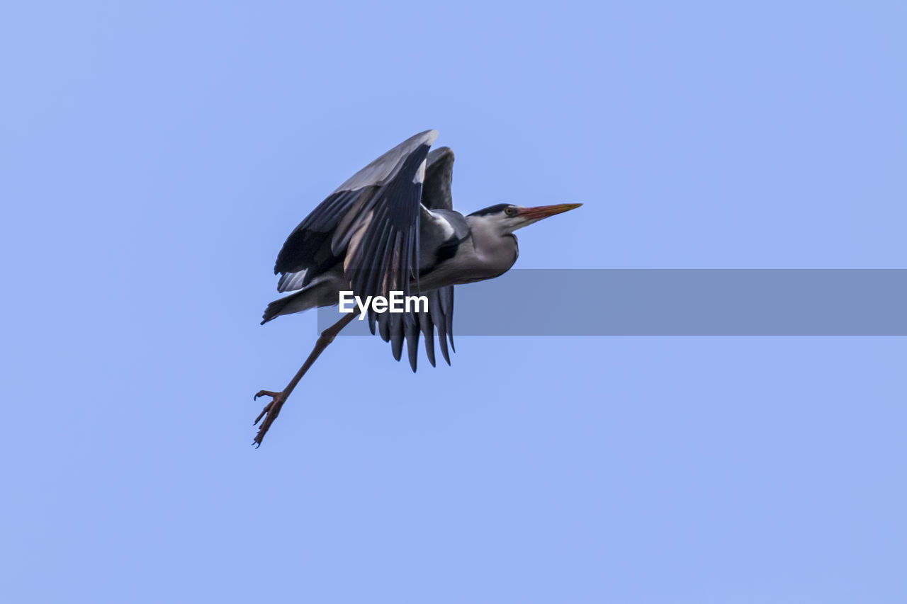 bird, one animal, animal themes, animals in the wild, animal wildlife, flying, spread wings, clear sky, nature, day, blue, no people, mid-air, outdoors, low angle view, gray heron, beauty in nature, close-up