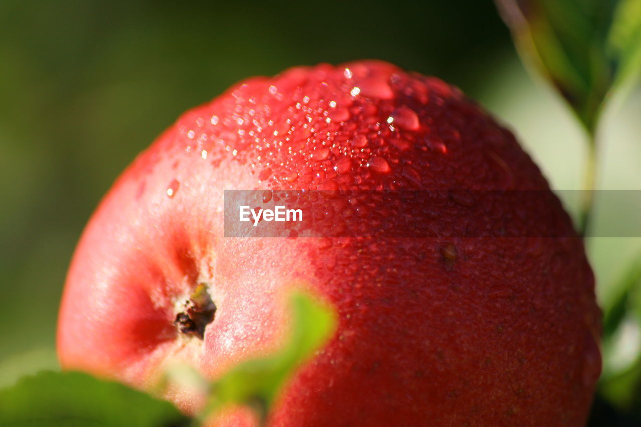 Close-up of wet red apple