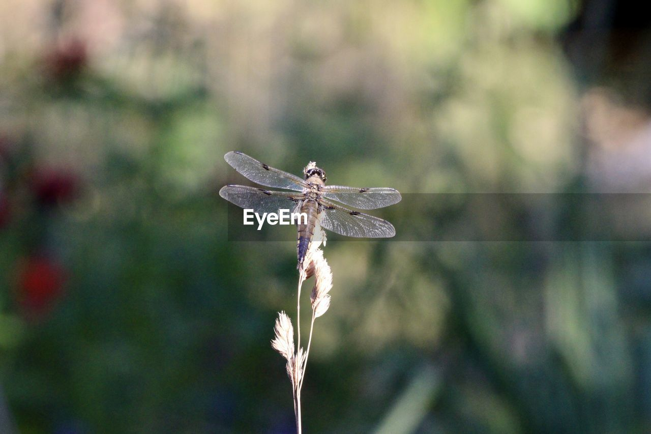 DRAGONFLY ON PLANT