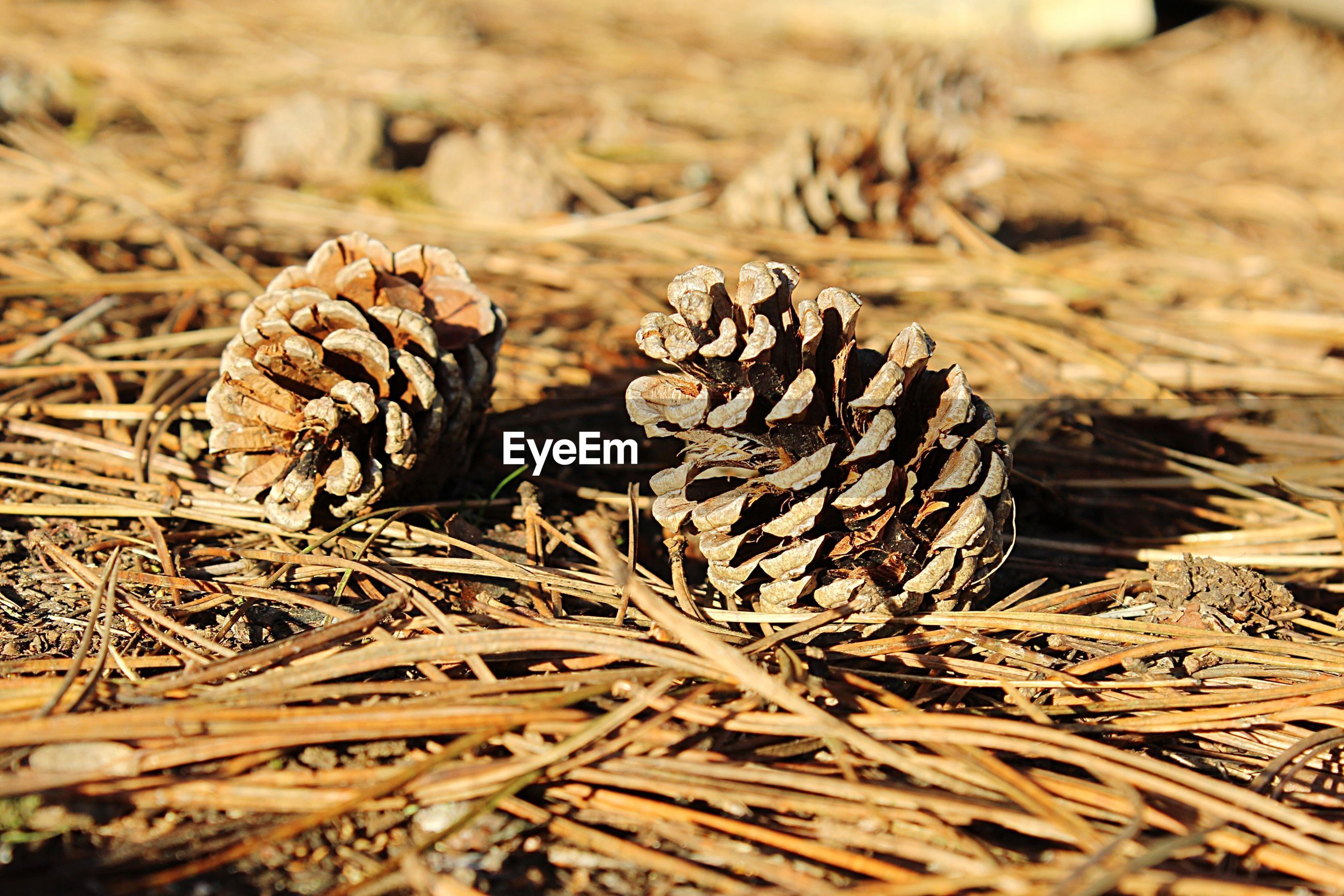 Close-up of fallen pine cones on sticks